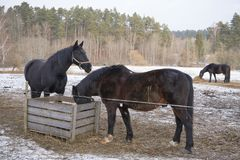 Two black horses in the snow royalty free stock photo