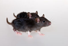 Two black infant rats. Very young infant rats on a white background Royalty Free Stock Photos