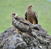 Two Black Kite. Stock Photography