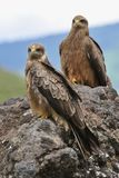 Two Black Kite. Stock Images