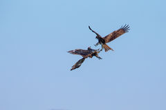 Two Black Kite fighting Stock Photography