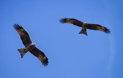 Two black kite fly under the sunlight Stock Images