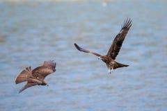Two Black Kite  (Milvus migrans)  flying Royalty Free Stock Image