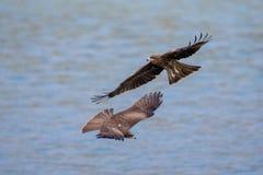 Two Black Kite  (Milvus migrans)  flying Stock Photo