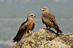 Two black kites Royalty Free Stock Images