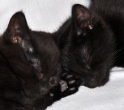 Two black kittens. Sleeping together Royalty Free Stock Images