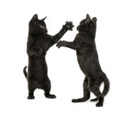Two black kittens fighting Stock Photos