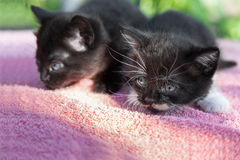 Two black kittens stock photography