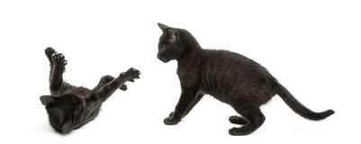 Two Black kittens playing, 2 months old, isolated Royalty Free Stock Photos