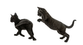 Two Black kittens playing, 2 months old, isolated Royalty Free Stock Photo