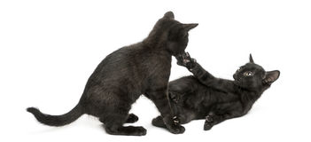 Two Black kittens playing, 2 months old, isolated Stock Image