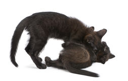 Free Two Black Kittens Playing Together Royalty Free Stock Images - 16407999