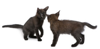 Two black kittens playing together Stock Photos