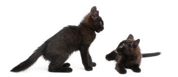 Two black kittens playing together Royalty Free Stock Images