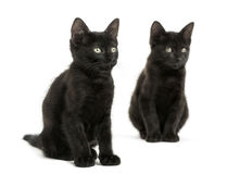 Two Black kittens sitting, looking away, 2 months old, isolated Stock Photos