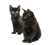 Two Black kittens sitting, 2 months old, isolated Royalty Free Stock Images
