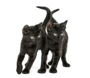 Two Black kittens standing, looking down, 2 months old Stock Images