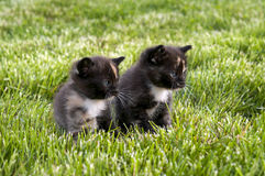 Two Calico kittens Royalty Free Stock Photography
