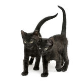 Two Black kittens walking the same direction, 2 months old Royalty Free Stock Photos