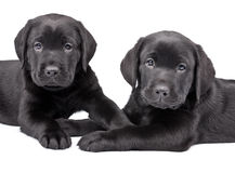 Two  black labrador puppies Royalty Free Stock Image