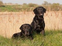 Two black labrador retrievers. Portrait of two black labrador retrievers in idyllic nature Royalty Free Stock Photo