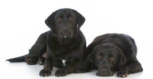 Two black labrador retrievers Royalty Free Stock Image