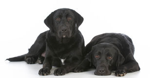Two black labrador retrievers Royalty Free Stock Photography