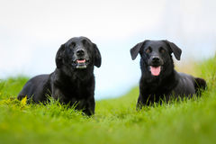 Two black labradors. Shot of purebred dogs. Taken outside on a sunny summer day Stock Photos