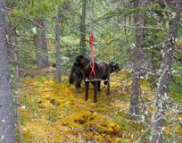 Two black labradors tied to trees in a forest Stock Photography