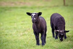 Two black lamb Stock Photos