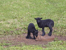Two black lambs Royalty Free Stock Image