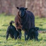 Two Black lambs feeding stock photos