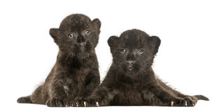 Two Black Leopard cubs lying down, 3 weeks old Royalty Free Stock Photo