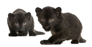 Two Black Leopard cubs, 3 weeks old, prowling and gazing Royalty Free Stock Photography