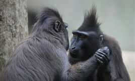 Free Two Black Macaque Holding Hand Royalty Free Stock Image - 133664236