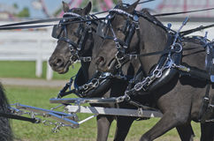 Two Black Miniatures Horse in Harness royalty free stock image