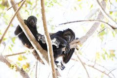 Two Black Monkey Climbing On Tree Stock Images