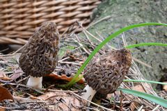 Two Black Morel mushrooms before picking up. Small group of two Morchella conica mushrooms or Black Morels in natural habitat before picking up and wicker basket Royalty Free Stock Photos