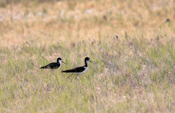 Two black necked stilts. Royalty Free Stock Photo