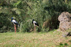 Two Black-necked storks (Ephippiorhynchus asiaticus) Royalty Free Stock Photos