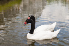 Two black-necked swan. S on the water Stock Photography