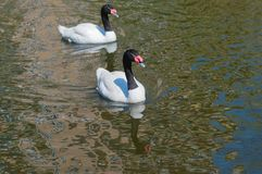 Two Black-necked Swan Stock Photos