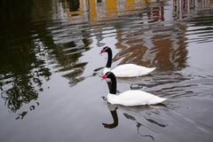 Two black-necked swan on monastery pond Royalty Free Stock Photography