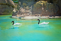 Two black-necked swans Royalty Free Stock Images