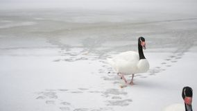 Two black necked swans walk on snow out of frame. Cygnus melancoryphus. Two beautiful black necked swans walk on snow-covered frozen pond leaving footsteps on stock video