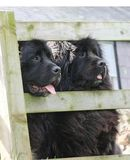 Black newfoundland dogs looking through wooden fence in Ireland. Black newfoundland dogs looking through wooden fence Ireland stock photos