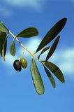 Two black olives on branch with leaves Royalty Free Stock Photography