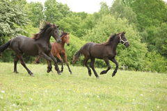 Two black and one brown horses running in nature. With some trees on the background royalty free stock photos