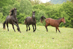 Two black and one brown horses running in nature Stock Image