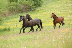 Two black and one brown horses running in pink flowers Royalty Free Stock Photo